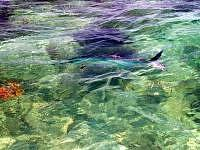 Flyfishing for tarpon.