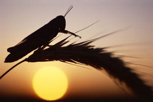 grasshopper-on-wheat-at-sunrise.jpg