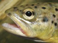 trout-fish-by-lute1.jpg